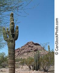 Cactus and Mountain from Botanical Gardens in Phoenix Arizona