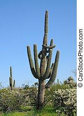 Arizona Desert Saguaro