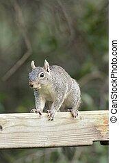 Arizona Gray Squirrel (Sciurus arizonensis)