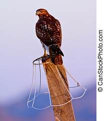 Arizona Hawk Perched - A young Arizona Hawk perched on a...