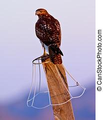 Arizona Hawk Perched - A young Arizona Hawk perched on a...