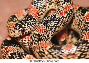 Arizona Longnose Snake