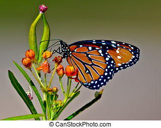 Arizona Queen Butterfly