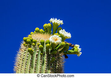 Arizona Saguaro Cactus in Bloom