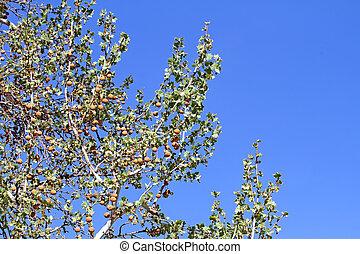 Arizona Sycamore budding spring 2