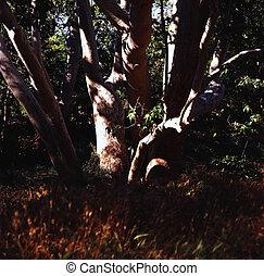 Arizona Sycamore tree - Giant Sycamore tree of Arizona ...
