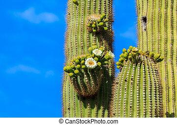 Arizonan Saguaro Cactus in Bloom