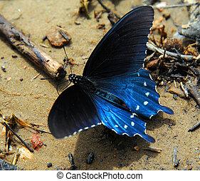 Arkansas Diana Fritillary - The Diana fritillary butterfly ...