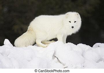 arktisch, weißer fuchs, schnee, tief