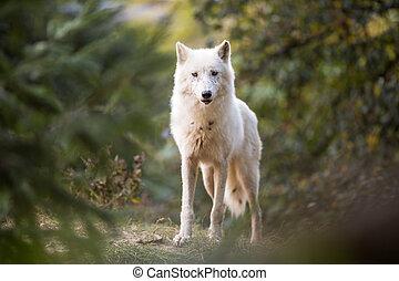 arktischer wolf, anschauen kamera