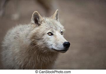 arktischer wolf, (canis, lupus, arctoaka, polar, wolf, oder, weißer wolf