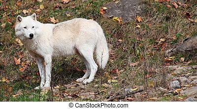arktischer wolf,  zurück schauen, auf, a, fallen tag