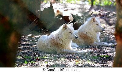 arktyczny wilk, para