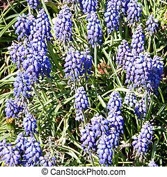 Arlington Cemetery Liriope muscari 2010 - Blue Liriope...