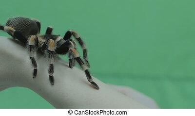 arm., femme, araignés, grand, tarentule, rampe