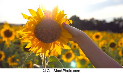 Arm of girl caress yellow flower at the meadow at sunny day....