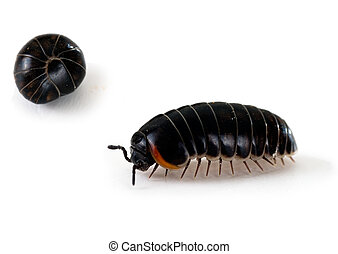 Armadillidium woodlouse - aka pill bug, roly poly, macro -...