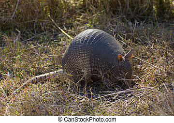 Armadillo - A nine-banded armadillo searching for a meal