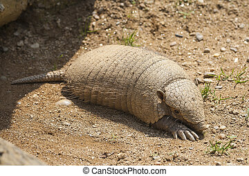 Armadillo - Close up on a armadillo leaving is lair