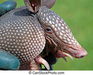 Armadillo Closeup - A baby armadillo is show in a closeup ...