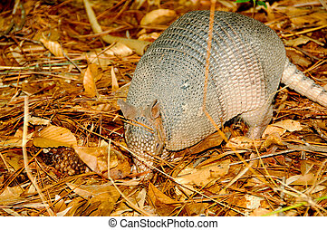 Armadillo (Dasypus novemcinctus) - Seen here in the ...