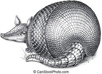 armadillo, illustrazione