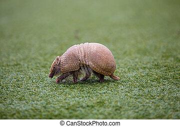 Armadillo on Turf Grass