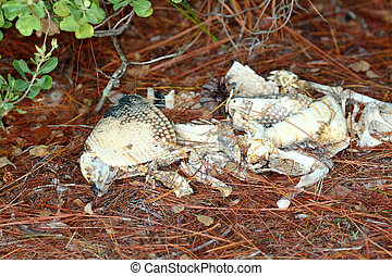 Armadillo Remains - Florida - Remains of a Nine-banded ...