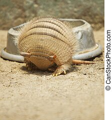 Armadillo rolling in - Vertical photo of an armadillo ...