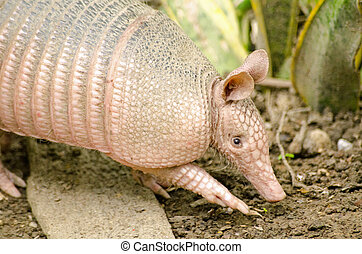 Armadillo, Tobago - A nine banded armadillo, latin name ...