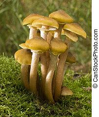 mushroom - Armillaria mellea edible mushroom on moss close ...