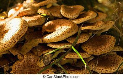 Armillaria mushroom in autumn leaves