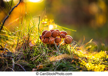 Armillaria Mushrooms of honey agaric In a Sunny forest.