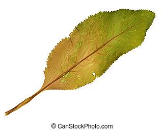 Armoracia rusticana in herbarium - Pressed and dried leaf of...