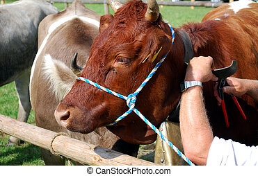 arms of a farmer on the cattle market adjusting the belt of a cow