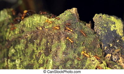 Army Ants - Army ants (Eciton sp.) on a tree stump in...