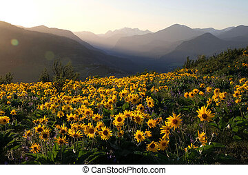 Arnica and Lupine wildflowers in meadows at sunrise.