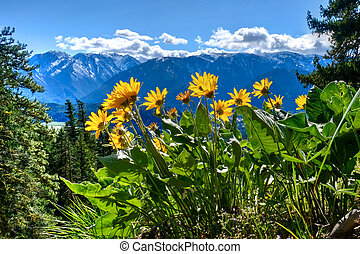 Arnica in alpine meadows.