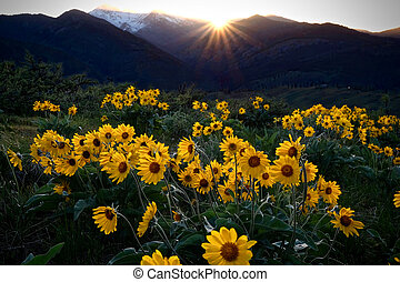 Arnica meadows at sunrise.