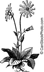 Arnica montana flower, aslo known as wolf's bane, leopard's bane, mountain tabacco and mountain arnica old engraving. Arnica plant isolated against a white background. Vector, engraved illustration.