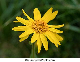 Arnica montana, yellow wild mountain flower