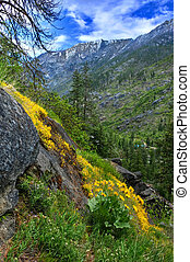 Arnica or Arrowleaf Balsamroot flowers in mountains. -...