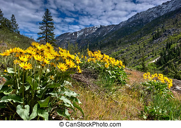 Arnica or balsamroot in alpine meadows in spring. - Cascade...