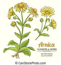 arnica vector set - arnica plant vector set on white ...