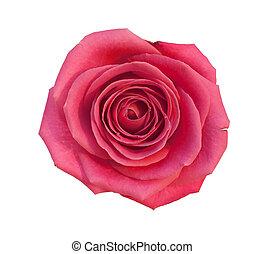 rose isolated - Aroma fresh rose isolated on white...
