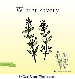 Aromatic herb winter savory - Aromatic herbs collection - ...