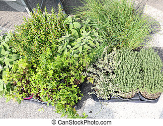 aromatic plants with sage rosemary and thyme for sale in the...