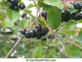 Aronia. - Branch black chokeberry close up.