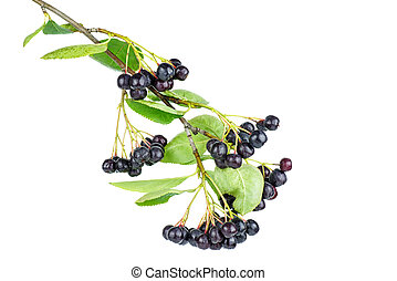 Aronia branch isolated on white background