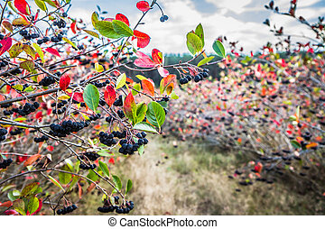 Aronia (chokeberries) growing in a field - in the late ...